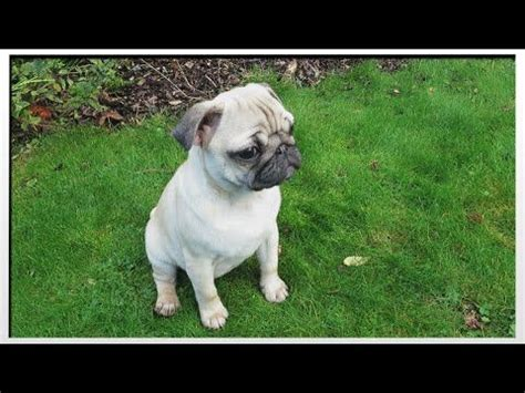 baby pug price in india 25 best ideas about the pug on pug pugs and baby pugs