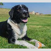 bernese-mountain-dog-lab-mix-puppies