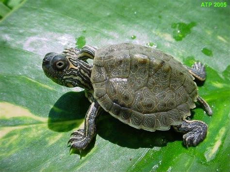 texas map turtle care atp care sheet texas map turtle