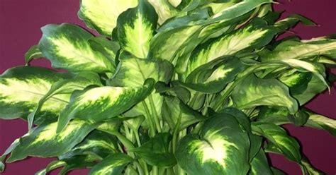 dumb cane houseplant dieffenbachia care  growing tips