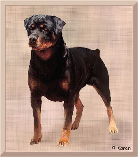 rottweiler rescue of los angeles all about the rottweiler