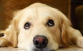 golden retriever diarrhea treatment my ate chocolate 05 tips to avoid chocolate toxicity in