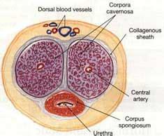 vasi sanguigni pene members area