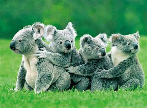 green koala wallpaper animals koalas bears 1280x941 wallpaper animals bears hd