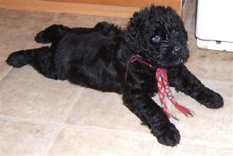 black russian terrier puppies black russian terrier breeder brt washington