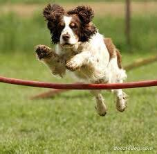 Do Springer Spaniels Shed by Springer Spaniels On Spaniels Dogs
