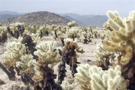 Cholla Cactus Garden by Free Stock Photo Of Various Cactus Plants At Cholla Cactus