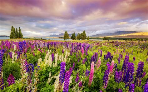 Home Decoration Wallpaper Field Of Lupines Hd Wallpapers