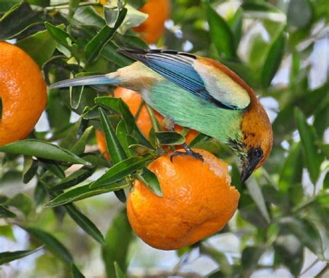 nature image for bird eating orange most beautiful images