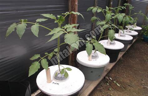 Hidroponik Murah Dan Praktis 16 cara mudah menanam tomat hidroponik sederhana sistem
