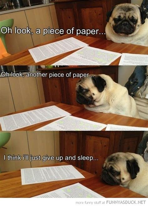 pug studying studying pug i want one schooling my homework and finals