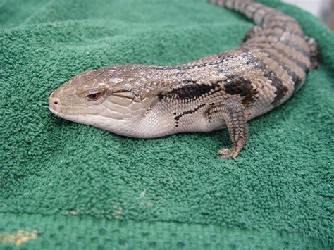 blue tongued skink care chicago exotics animal hospital
