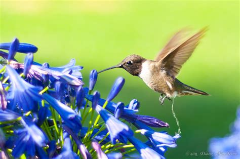 attract hummingbirds gardening pinterest