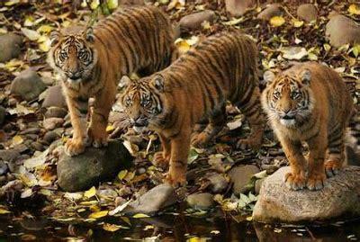 beraksi trio macan pictures foto gambar harimau sahabat trio macan