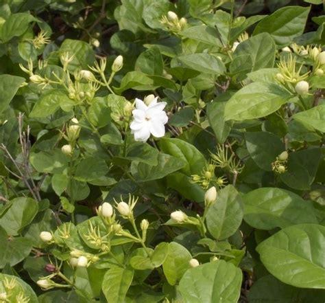 Tanaman Bunga Melati tanaman melati kung bibitbunga