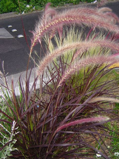 purple fountain grass zone 5 images