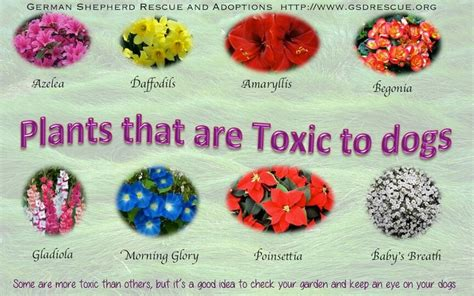 what plants are poisonous to dogs toxic plants for dogs caring for my quot fur kids quot the