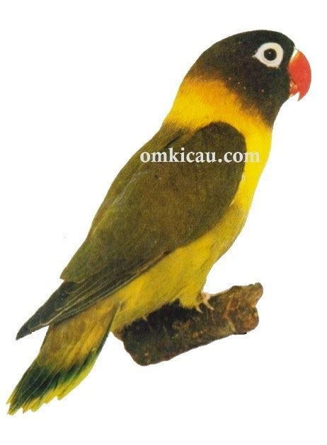 desain gambar lovebird gambar sangkar burung branjangan blog images