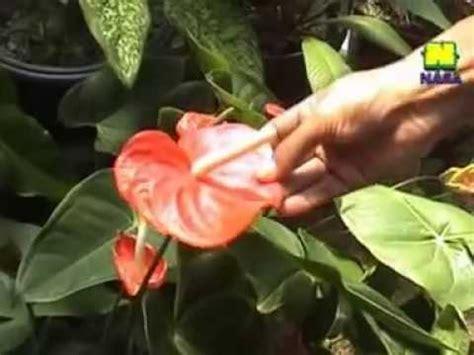tanaman hias  pupuk organik nasa wonosobo jateng