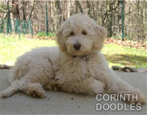 mini goldendoodle puppies nc goldendoodle and labradoodle puppies in michigan quality puppies breeds picture
