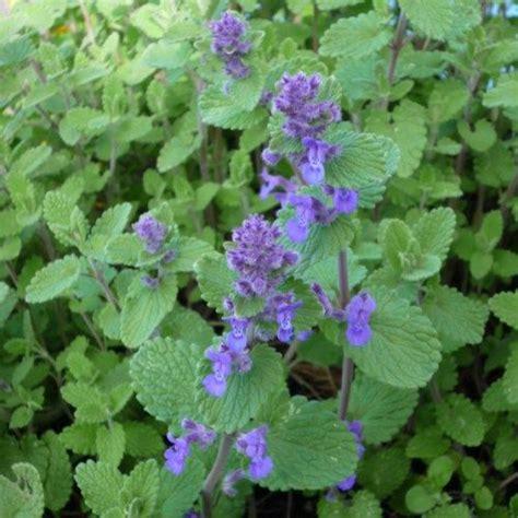 buy catnip plant uk 28 images buy catmint nepeta 215