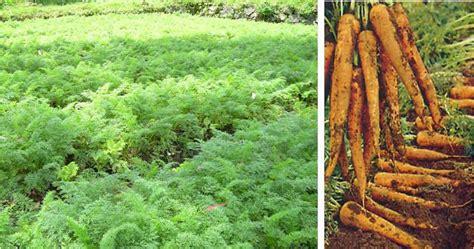 Pepaya California Hibrida budidaya wortel tanam sayuran