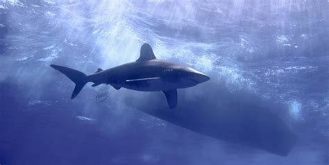 oceanic dive scuba diving with oceanic whitetips scuba diver