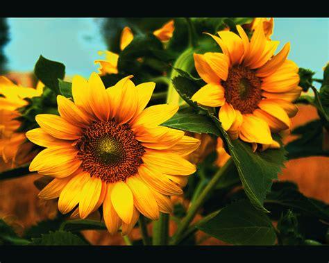 image flower helianthus
