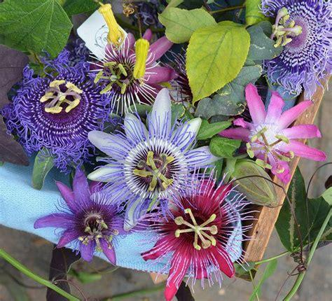 fiore passiflora propriet 224 e benefici frutto della passione la