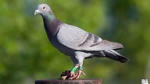 rock dove bird pigeon photos hd images free download