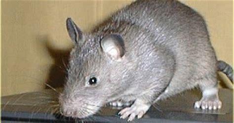 membuat perangkap tikus rumahan all about ririn widiya tips membasmi tikus di rumah