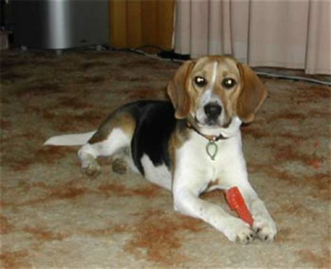 harrier puppies for sale beagle harrier information pictures and of beagle harrier breeds picture