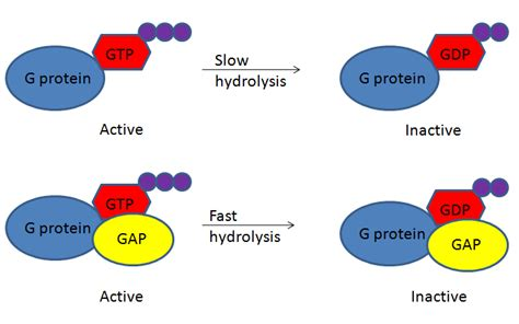 protein gap gtpase activating protein