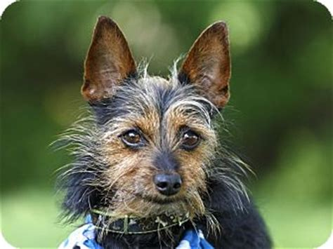 miniature pinscher yorkie loky adopted ile perrot qc yorkie terrier miniature pinscher mix