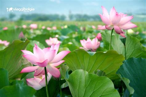 fiori di loto mantova sabbioneta e la fioritura loto nei laghi di mantova