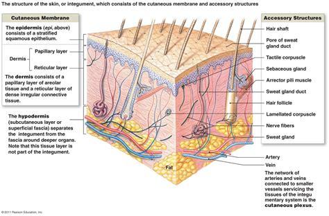 diagram of the dermis image gallery reticular layer
