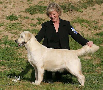 giltedge golden retrievers giltedge poetic style owned by handley