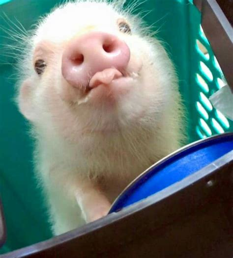 25  best ideas about Baby pigs on Pinterest   Baby pig