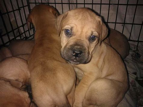 bullmastiff puppies for sale bullmastiff puppies for sale wolverhton west midlands pets4homes