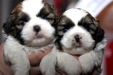 shih tzu newborn puppies 30 photos that will make you say quot awww quot
