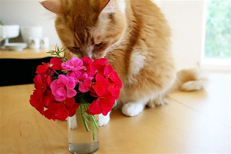 cat sniffing flowers   buy stock   cat sniff flickr