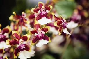 Wild Orchid Home Decor Oncidium Orchids Care And Growing Tips