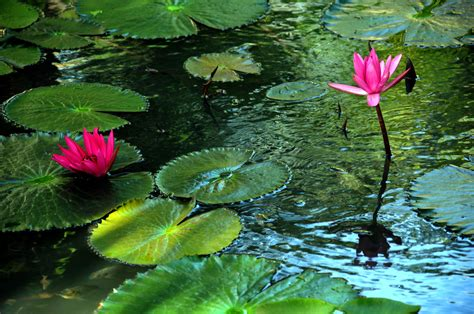 lotus pond pictures lotus pond phanthiet blue fam flickr