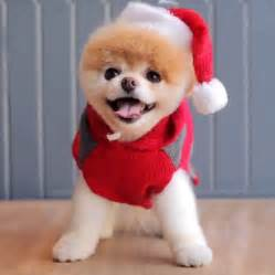 boo the pomeranian holiday video popsugar pets