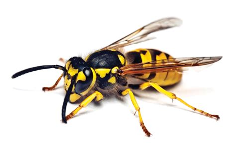 Yellow Bee how to get rid of a yellow jacket nest tomlinson bomberger