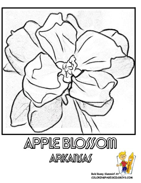 arkansas state flower coloring page apple blossom usa