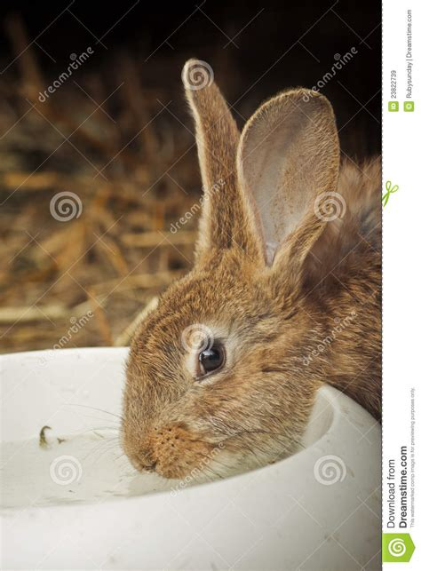 rabbit drinking water royalty free stock images image