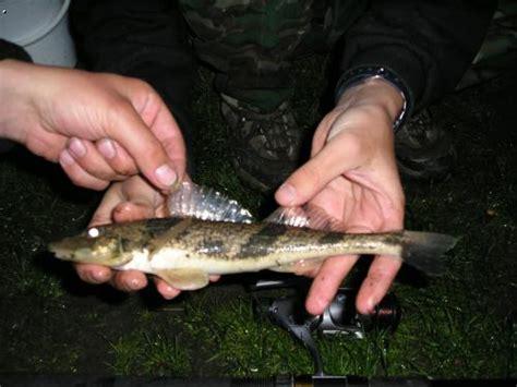 Skalar On Lu Stater forum scalare de thema anzeigen fisch trivia