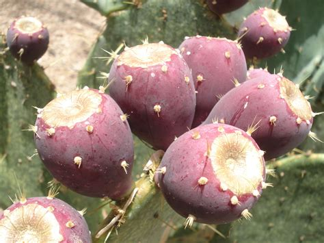 prickly pear cactus jelly or tuna jelly texas jelly making