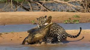 Jaguar Attacks Crocodile 1jjaguar Kills Caiman Jpg